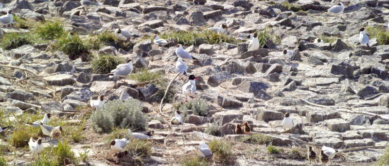 Schwarzkopfmöwe, Mediterranean Gull, Ichthyaetus melanocephalus