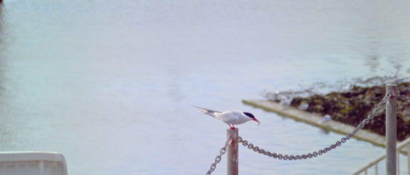 Küstenseeschwalbe, Arctic Tern, Sterna paradisaea