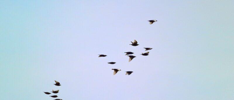 Star, Common Starling, Sturnus vulgaris