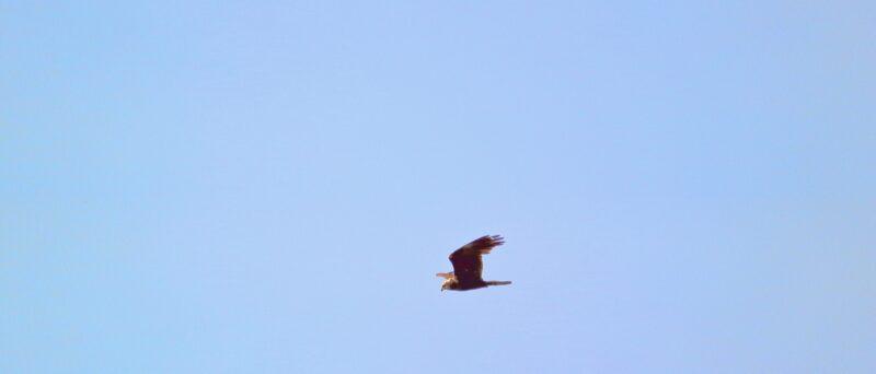 Rohrweihe, Western Marsh Harrier, Circus aeruginosus