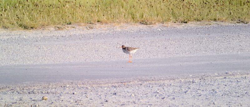 Rotschenkel, Common Redshank, Tringa totanus