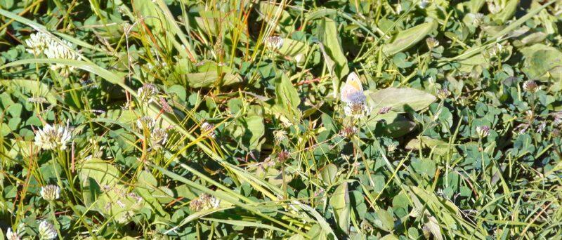 Kleines Wiesenvögelchen, Coenonympha pamphilus
