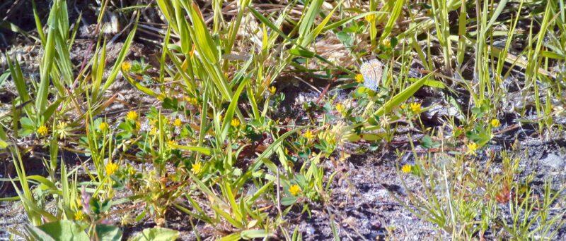 Kleiner Sonnenröschen-Bläuling, Aricia agestis