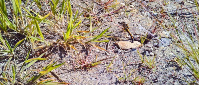 Nordische Moosjungfer, Leucorrhinia rubicunda